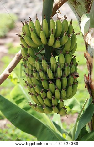 A bunch of non-ripe bananas hanging on a plant in the Indian tropics.