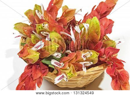 Flowers Of The Pink Prawn Plant In Wicker Basket