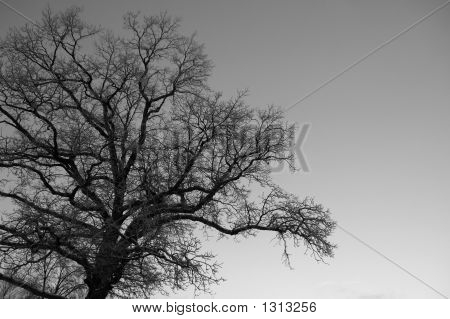 Icetreebw