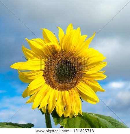 Blooming Bright Single Sunflower