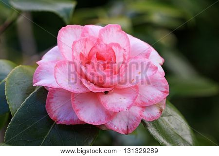 close up of a pink Camellia flower
