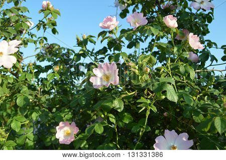 Blooming wild rose bush on a background of blue sky