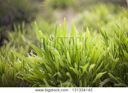 Close Up Of Fresh Thick Green Grass