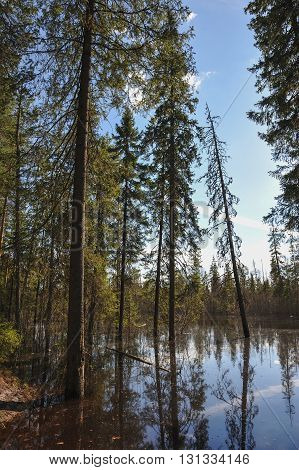 Flood in the lake in taiga forest