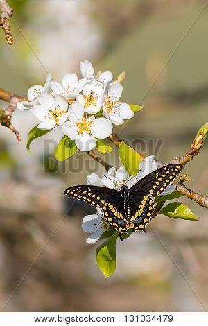 Black Swallow-tailed butterfly in a pear tree. Taken in Kentucky.
