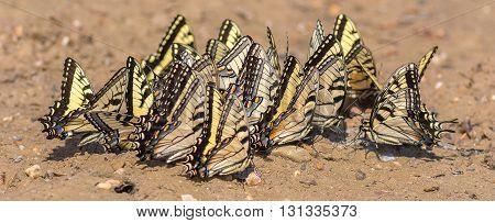 Eastern Tiger Swallowtails puddling. Taken in Kentucky.