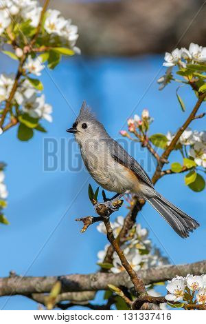 A tufted titmouse perched in a pear tree. Taken in Kentucky.
