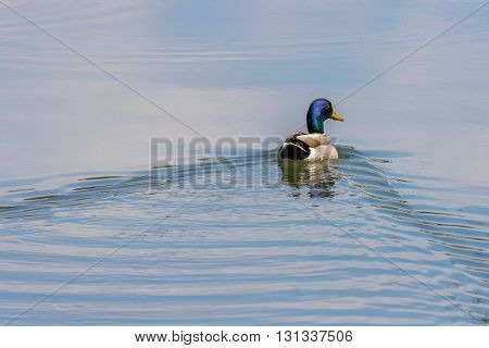 A mallard swimming to calmer water. Taken in Kentucky.