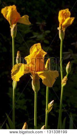 Beautiful yellow fleurette- Iris flowers, Northern Caucasus