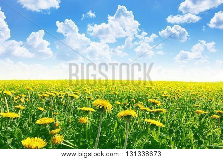 Dandelion field under blue sky in summertime.