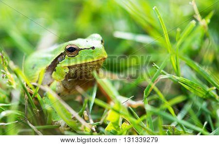 Green frog (Rana ridibunda) on a stick
