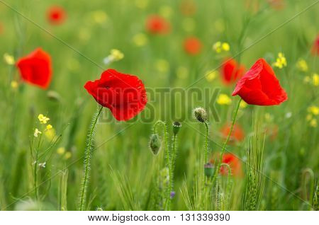 Red poppy flowers in the oil seed rape fields