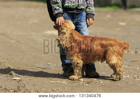 Red long-haired spaniel stands at the schoolboy and boy gently strokes dog's head