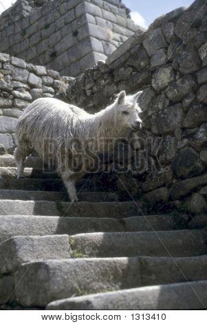 Escalera descendente de Inca de alpaca