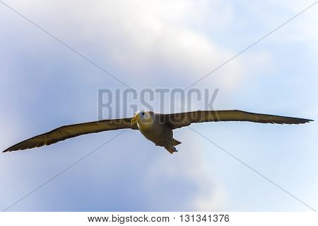 Waved Albatross Flying In Galapagos