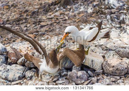 Nazca Booby In Galapagos
