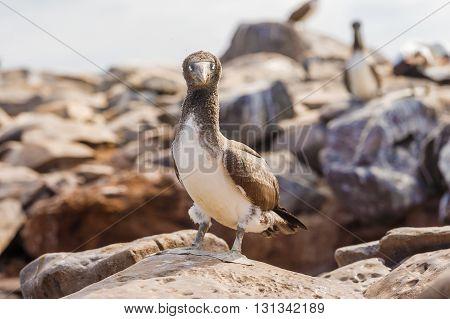 Juvenile Nazca Booby In Galapagos