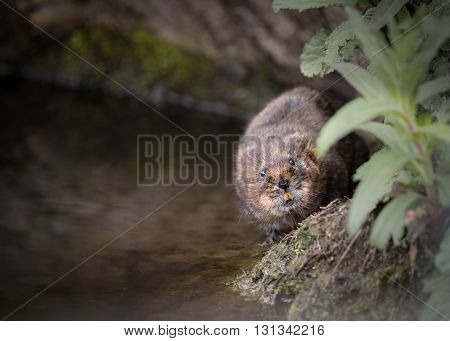 water vole walking along bank showing teeth