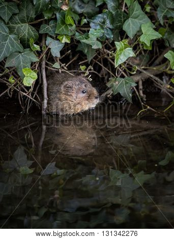 Wild Water vole emerging from burrow in ivy