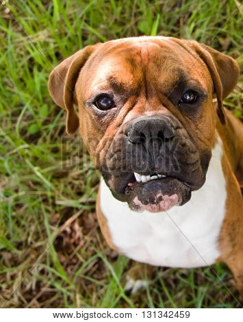 dog of breed the boxer, a brown color, tiger strips, a white breast, the wood, a green young grass,