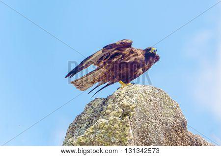 Galapagos hawk on the rock in Espanola Island