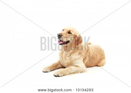 Golden retriever in the studio.