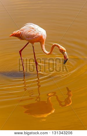 Greater Flamingo In The Water At Galapagos Islands