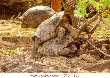 Giant Tortoises Mating In Darwin Station, Galapagos.