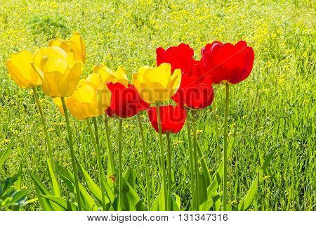 Yellow and red spring tulips close up on a sunny blooming lawn backlight