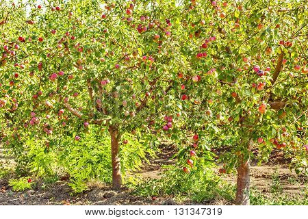 Apple trees with ripe red fruits in the orchard backlit