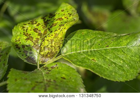 Pests, Plants Diseases. Leaf Spots Close-up.  Majority Of Leaf Spots  Are Caused By Fungi, Such As B