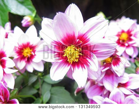 beautiful dahlias blooming roses and lilac close