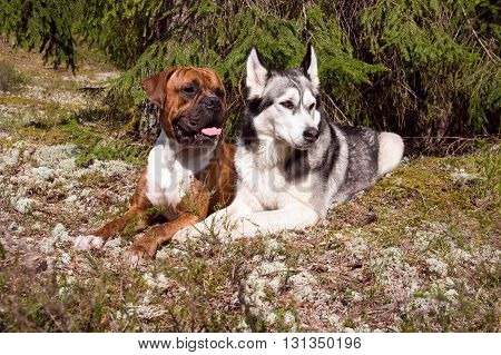 two dogs, dog of breed the boxer, a brown color, tiger strips, a white breast, the wood, a green young grass, trees on a background, a dog of breed a malamute, a color white  with gray,
