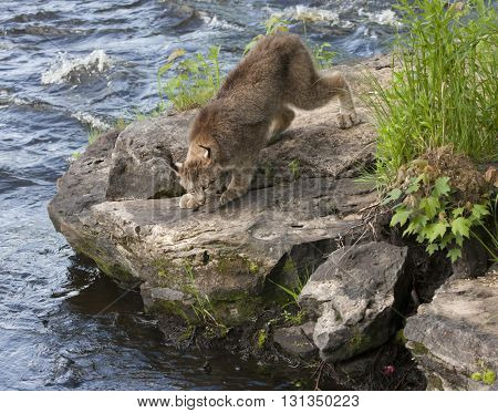 Lynx on river rocks moving to the edge of the river