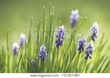 Grape hyacinth blossoms in the thick spring grass
