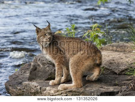 Lynx sitting next to a river looking over its shoulder