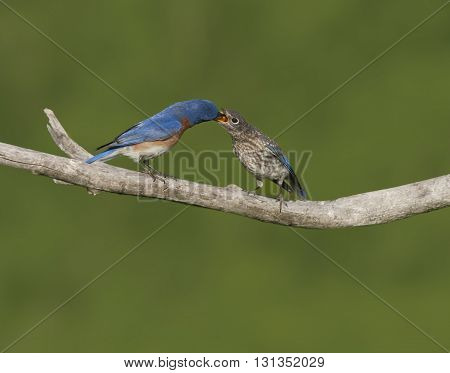 Male Eastern bluebird putting mealworms in a baby's mouth