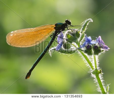 Demoselle Fly against the light in the countryside