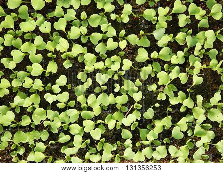 Young cabbage seedlings growing