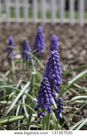 Purple hyacinth growing a clump, bulb landscaping