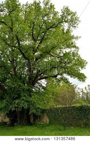 Old oak in a garden in Belgique tous full of sheets.