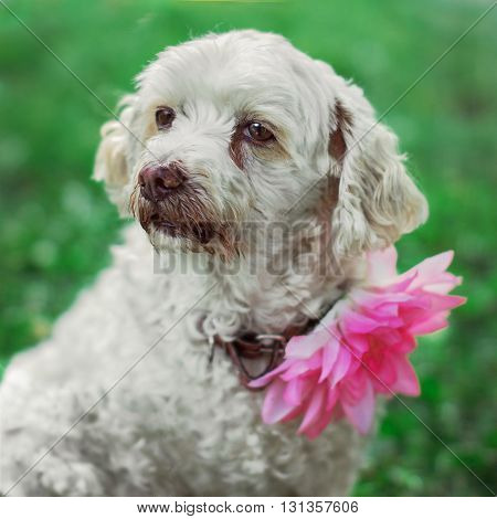 White dog with flower on the neck sits on the grass