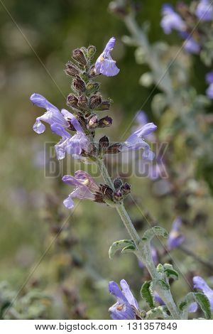 Three-leaved Sage - Salvia fruticosa Aromatic Herb from Cyprus