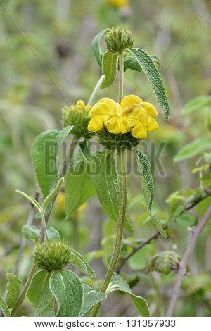 Western Cyprus Jerusalem Sage - Phlomis cypria ssp occidentalis Endemic to Cyprus