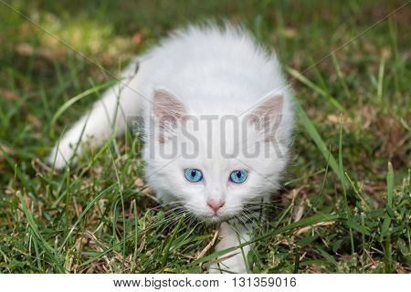 Adorable white kitten with blue eyes standing on the lawn