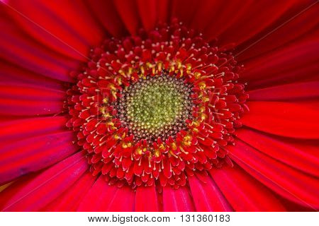 Bright Red and yellow Gerbera flowers.natural light