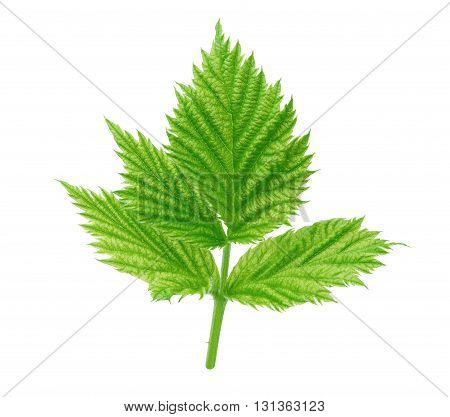 Young raspberry leaf isolated on a white background with clipping path
