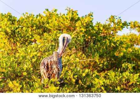 Brown Pelican On The Tree In Galapagos Islands