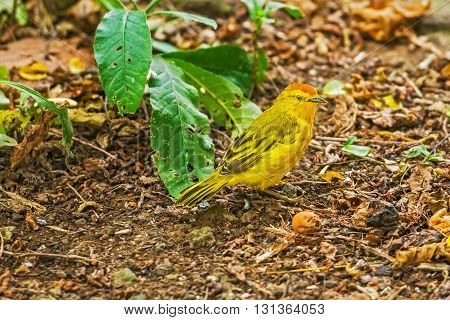 Male Yellow Warbler From Galapagos.