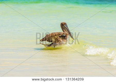 Brown Pelican In The Ocean On Galapagos Islands